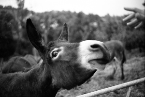 asino donkey