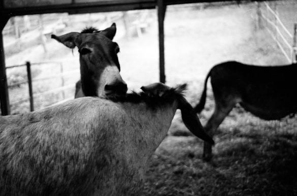 asini donkeys