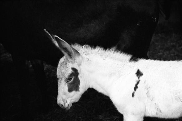 asino bianco - white donkey