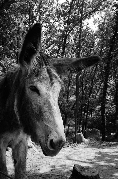 donkey, asino