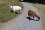 un po' kitsch, con capre, with goats
